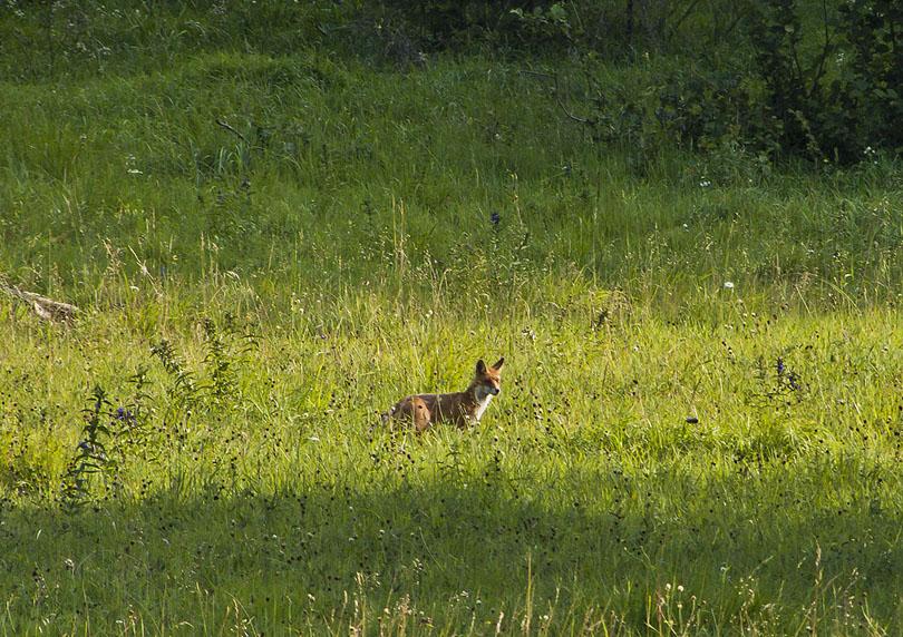 Kraj v ktorom doslova dávajú líšky dobrú noc!